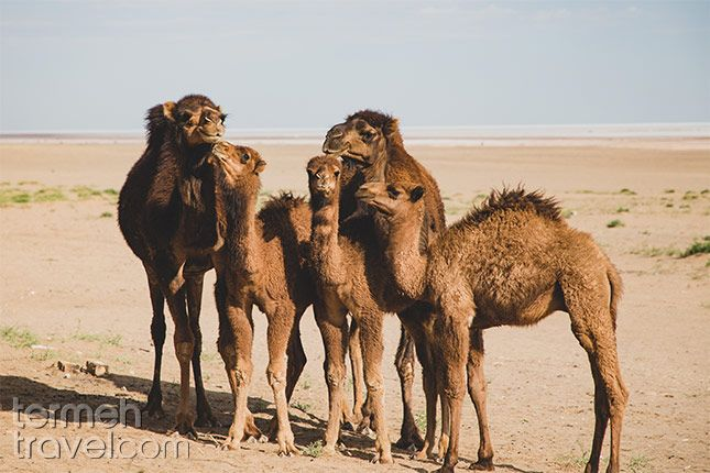 Qeshm, Iran. Five camels standing together for a group picture.