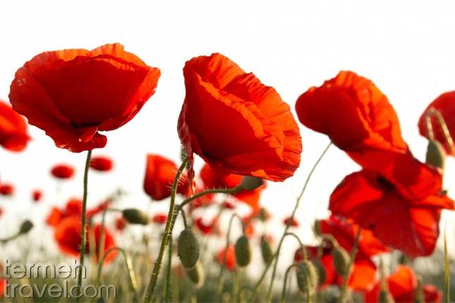 Poppy flowers in Iran- Termeh Travel