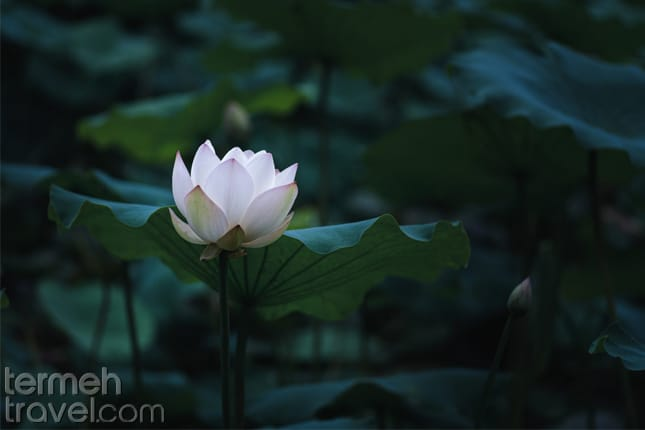 Lotus-Persian flower- Termeh Travel