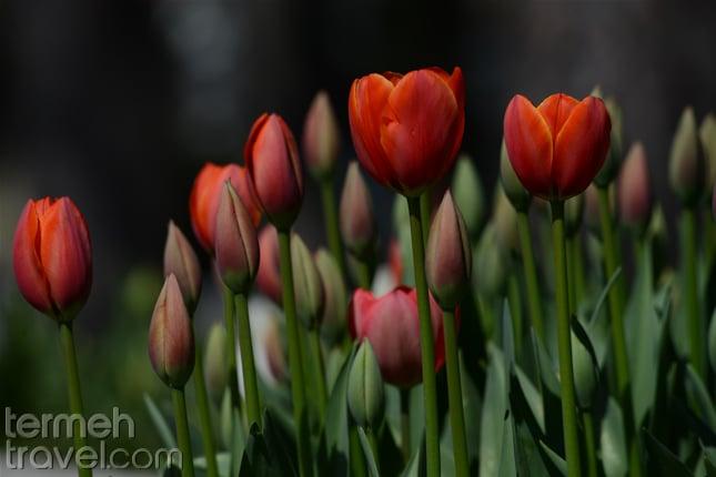 Tulip flowers in Iran- Termeh Travel