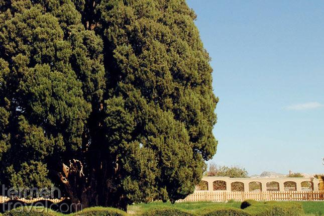 Abarkuh Cypress- Termeh Travel