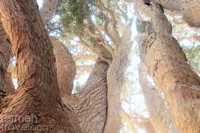 Abarkuh Cypress tree- Termeh Travel