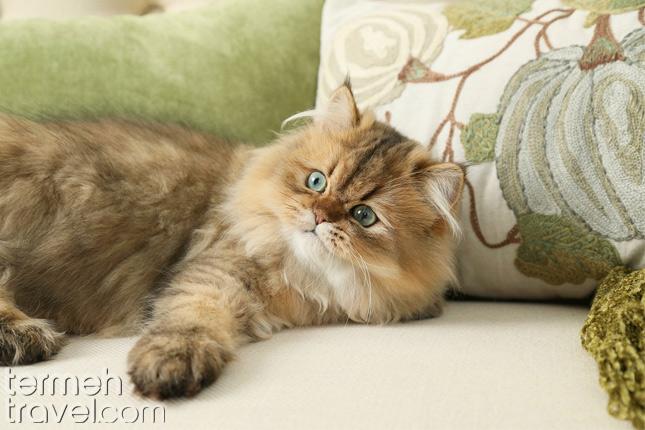 Chinchilla Persian Cats:- Termeh Travel