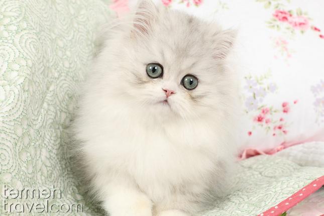 Doll face Persian cat- Termeh Travel
