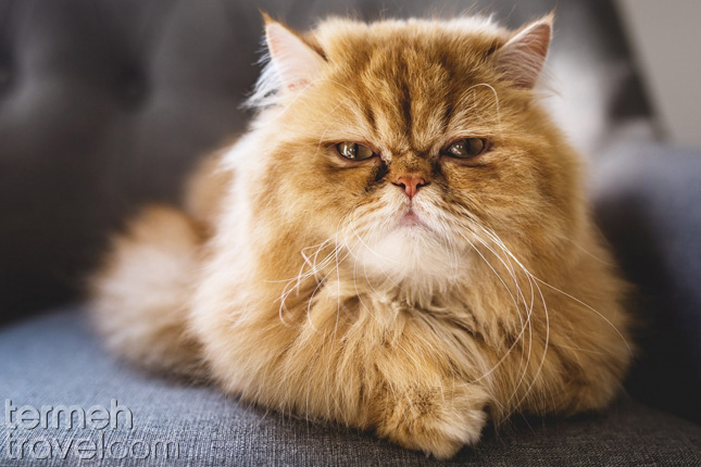 Persian cat- Termeh Travel
