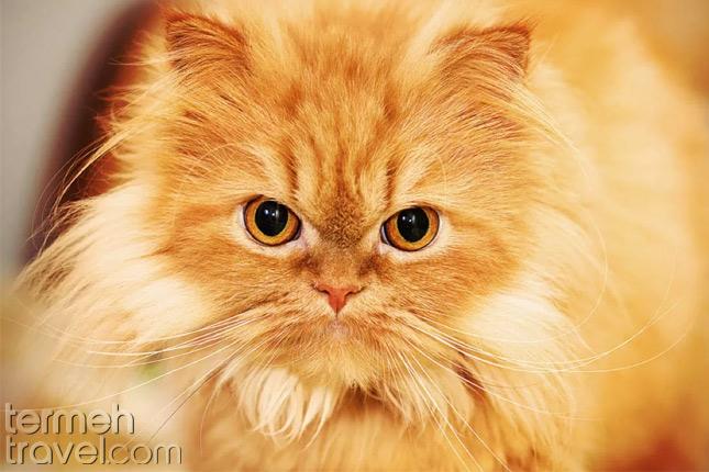 Peke Face Persian Cat- Termeh Travel