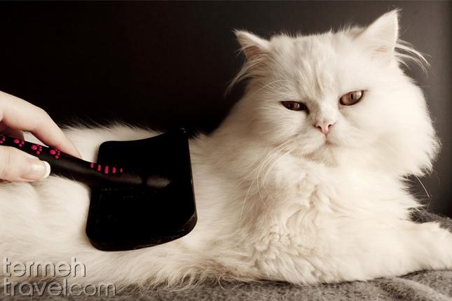 Brushing cat- Termeh Travel