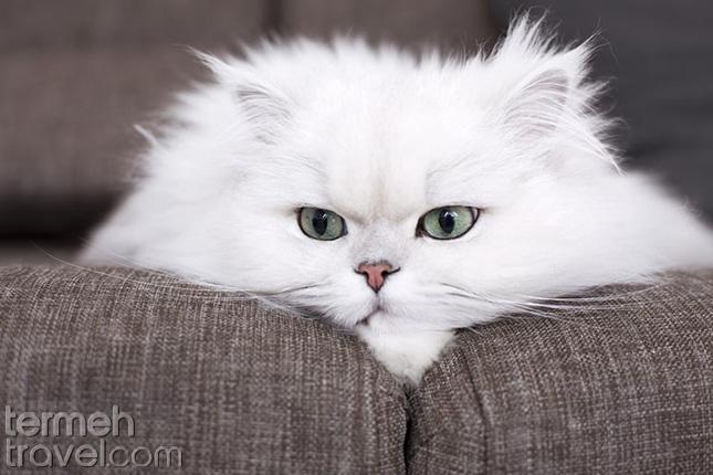 Tired Persian cat- Termeh Travel