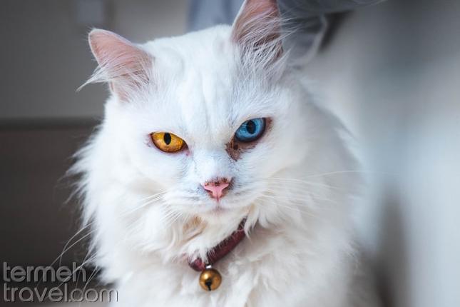 Persian cat eyes- Termeh Travel